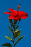 China de Rosa-sinensis del hibisco subió foto de archivo