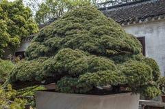 China, die erstaunliche Schönheit der Kunst der Bonsais Stockbilder