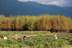 China farmers are harvesting in a rose farm. Yunnan, China Stock Image