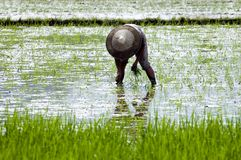 China - fazendeiro no campo do arroz Fotografia de Stock