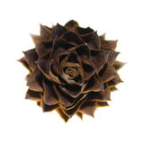 China Fir Tree Cone Royalty Free Stock Photo