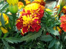 china flower Stock Photo