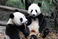 China Giant Panda. Lovely giant panda in China Royalty Free Stock Photography
