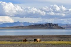 China. Great lakes of Tibet.Yaks grazing on the store of the lake Teri Tashi Namtso in summer stock images