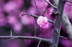 China& x27; härlig plommon för s Royaltyfri Foto
