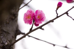 China& x27; härlig plommon för s Royaltyfri Fotografi