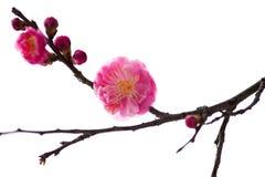 China& x27; härlig plommon för s Royaltyfria Foton