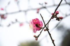 China& x27; härlig plommon för s Arkivbilder