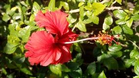 China hermosa Rose Fotografía de archivo