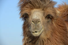 China humped camels Stock Images
