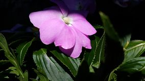 China, Impatiens Walleriana, beschäftigter Lizzie Stockfoto