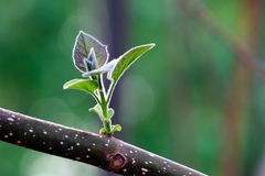 China Indus new leaves. Blooming in spring Stock Photo