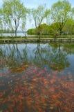 China lake of gold fish. China beautiful lake of golden fish national park Royalty Free Stock Image
