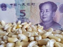 China, maize producing country, dry corn grains and chinese banknote of five yuan. Yellow edible seed, agriculture and harvest, world cereal production royalty free stock images