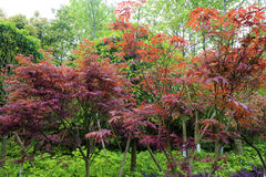 China maple trees Stock Image