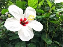 China nam of Hibiscus rosa toe Royalty-vrije Stock Foto