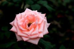 China nam rosa bloem toe Royalty-vrije Stock Foto's