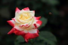 China nam rosa bloem toe Stock Fotografie