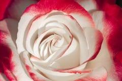 China nam rosa chinensis jacq toe royalty-vrije stock fotografie