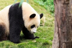 The cuddly giant panda Royalty Free Stock Images
