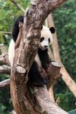 The cuddly giant panda Stock Images