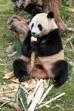 The cuddly giant panda Royalty Free Stock Image