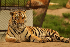 China northeast tiger in Harbin Tiger park, China Royalty Free Stock Photography