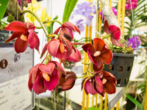 China orchids in paragon bangkok 2014 Royalty Free Stock Photos