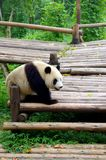 China Panda Royalty Free Stock Images