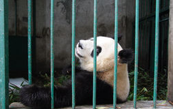 China - Panda Royalty Free Stock Photos