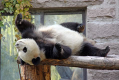 China. Panda at Beijing Zoo Stock Image