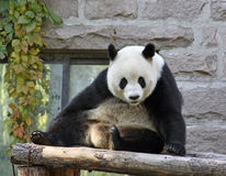 China. Panda at Beijing Zoo Royalty Free Stock Photography