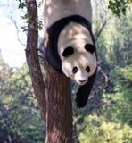 China Panda bij de Dierentuin van Peking Stock Foto's