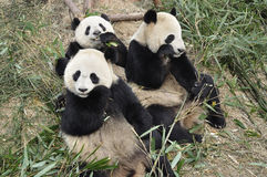 China Panda in Chengdu. Panda is the most famous animals of China royalty free stock photography