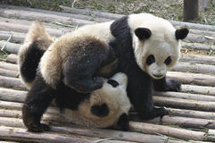 China Panda in Chengdu Stock Photography