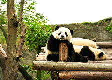 China panda in Chengdu Stock Photos