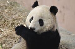 China Panda In Chengdu Stock Images