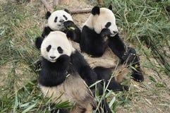 China Panda In Chengdu Royalty Free Stock Photography
