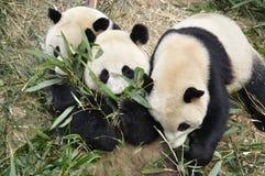 China Panda In Chengdu Stock Photos