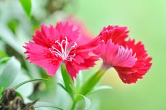 China Pink , Dianthus chinensis L. flower. In the gaeden Stock Images