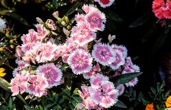 China Pink or  Indian Pink in my garden Dianthus chinensis. China Pink or  Indian Pink in my garden Morning, Thailand Royalty Free Stock Photos