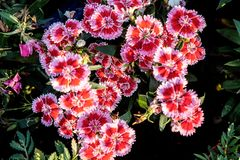 China Pink or  Indian Pink in my garden Dianthus chinensis. China Pink or  Indian Pink in my garden Morning, Thailand Royalty Free Stock Images