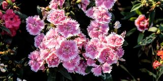 China Pink or  Indian Pink in my garden Dianthus chinensis. China Pink or  Indian Pink in my garden Morning, Thailand Stock Photos