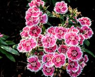 China Pink or  Indian Pink in my garden Dianthus chinensis. China Pink or  Indian Pink in my garden Morning, Thailand Stock Images