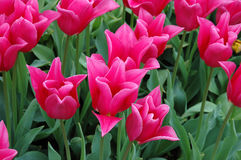 China Pink Tulip Royalty Free Stock Image