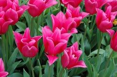 China Pink Tulip Royalty Free Stock Image