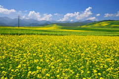 China Qinghai Flower and Field Landscape Stock Photo