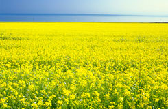 China Qinghai Flower Landscape Royalty Free Stock Photo