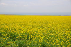 China Qinghai lake cole flowers. Qinghai lake is located in qinghai province on the northwest plateau of china.International Road Cycling Race held in Qinghai Stock Image