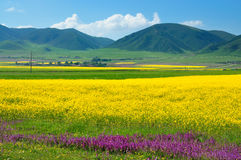 China Qinghai Rape Landscape Royalty Free Stock Image